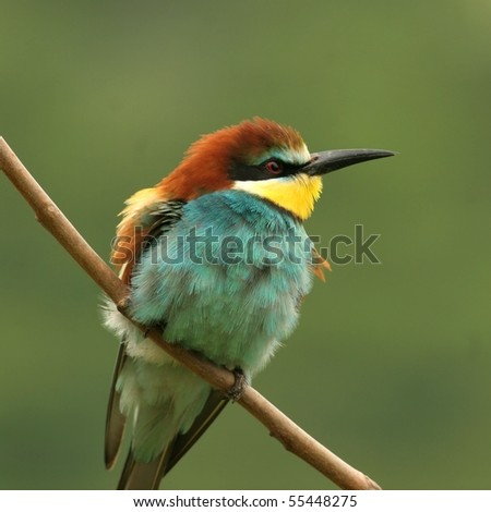 feathery bee-eater perched on a twig, close-up - stock photo