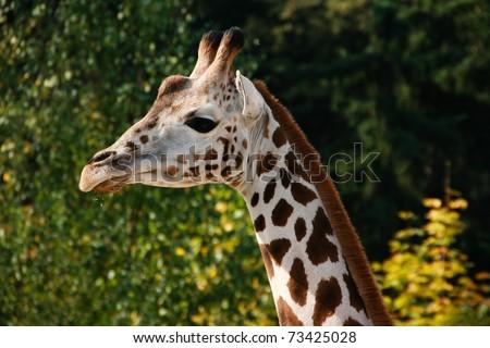 Feeding a giraffe at the zoo. Sad, young giraffe. - stock photo