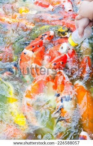 Feeding Carp fish or Koi fish  with baby milk bottle in Carp farm at Bangkok Thailand. - stock photo