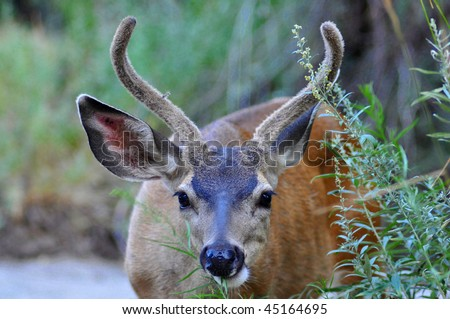 Feeding Female Mule Deer - stock photo