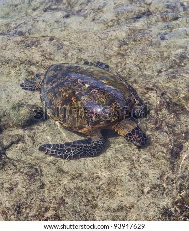 Feeding Green Sea Turtle in the low tide - stock photo