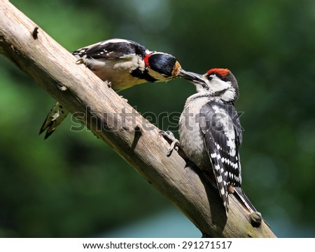 Feeding of Great Spotted Woodpecker baby bird - stock photo