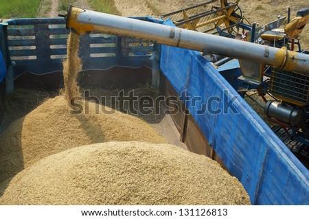 feeding rice grain to truck. - stock photo