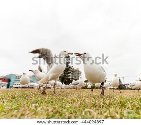 Feeding Silver Gull Close to Bondi Beach, Sydney, Australia. Two Birds Close Each Other.  - stock photo