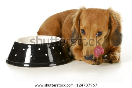 feeding the dog - miniature dachshund licking lips after eating isolated on white background - stock photo