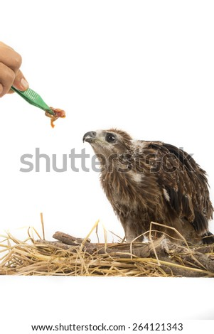 Feeding Young Brahminy Kite , Red-backed Sea-eagle in the nest - stock photo