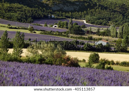 Feelds of blooming lavander near Sault, Vaucluse, Provence, France - stock photo