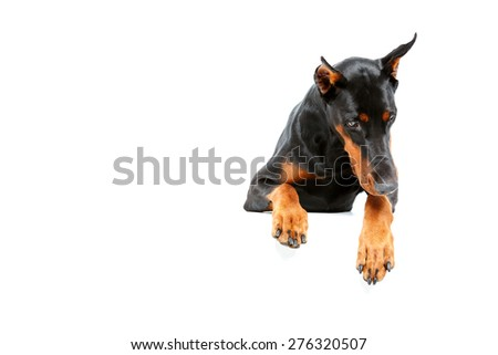 Feeling sorrow for. Top view of looking sad doberman pinscher on isolated white background. - stock photo