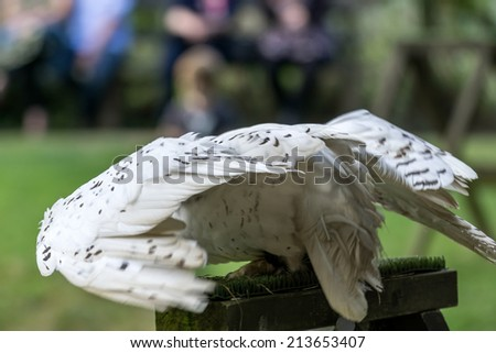 FELBRIDGE, SURREY/UK - AUGUST 23 : Snowy Owl (Bubo scandiacus) at the British Wildlife Centre in Felbridge Surrey on August 23, 2014. Unidentified people. - stock photo