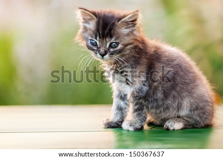 Feline animal pet little british domestic cat curious face looking eyes - stock photo