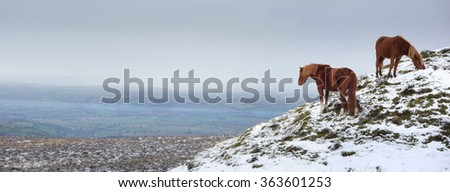 Fell Ponies at the summit of Brown Clee Hill, the highest point in Shropshire, England, UK. Panoramic landscape with copy space. - stock photo