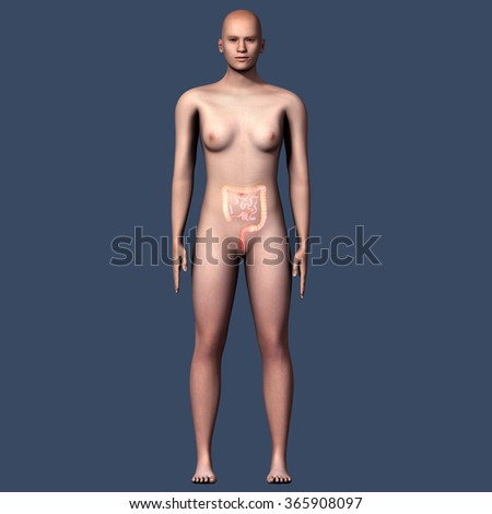 femal large intestine - stock photo