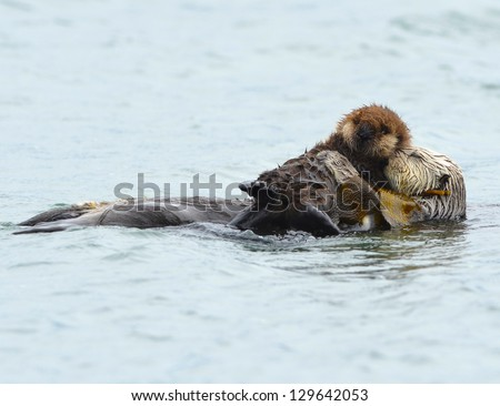 female adult sea otter with infant / baby in the kelp on a cold rainy day in big sur, california, usa - stock photo