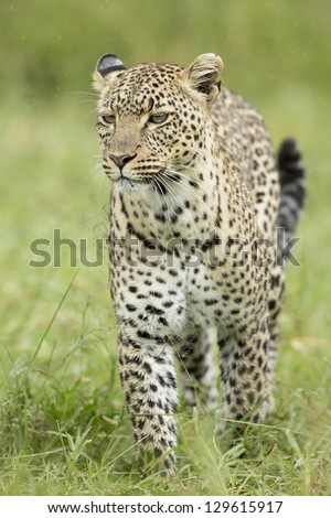 Female African Leopard (Panthera pardus) Serengeti, Tanzania, walking in the rain - stock photo