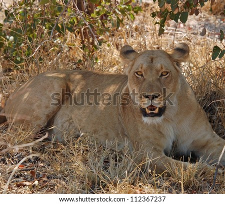 Female African Lion (Panthera leo) in heat in the Kruger National Park, South Africa. - stock photo