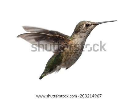 Female Annas Hummingbird (Calypte anna) in flight isolated on a white background - stock photo