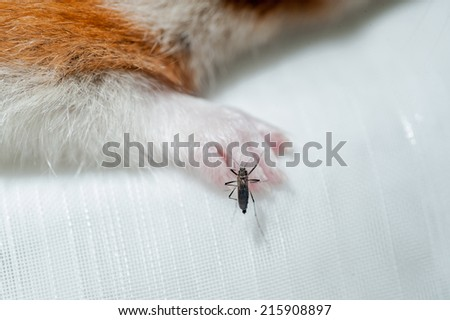 Female Anopheles mosquito sucking blood from mouse, science - stock photo
