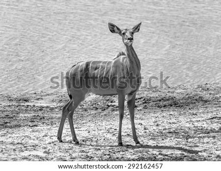 Female antelope Kudu (Tragelaphus strepsiceros) in Chobe National Park - Botswana, South-West Africa (black and white) - stock photo
