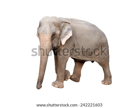 female asia elephant isolated on white background - stock photo