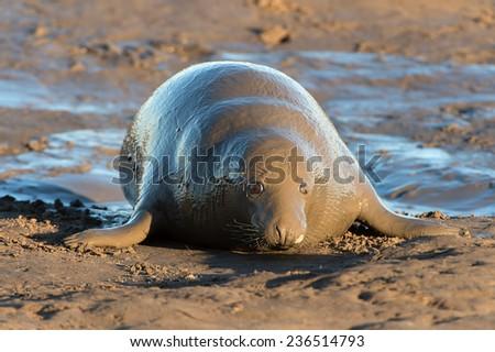 Female Atlantic Grey Seal Covered in Wet Mud/Female Atlantic Grey Seal Mudbath/Atlantic Grey Seal (halichoerus grypus) - stock photo