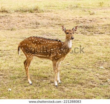 Female Axis deer standing in grassland - stock photo