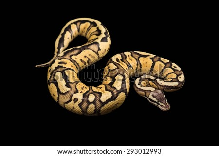 Female Ball Python - Python regius, age 1 year, isolated on a black background. Firefly Morph or Mutation - stock photo
