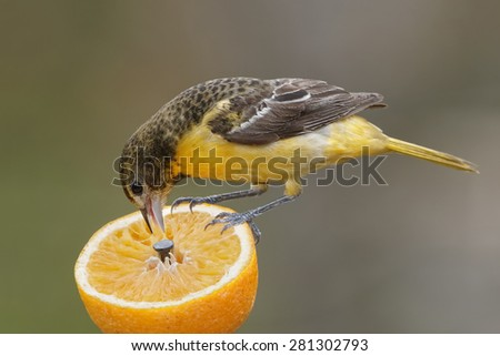 Female Baltimore Oriole (Icterus galbula) feeding on an orange - Ontario, Canada - stock photo