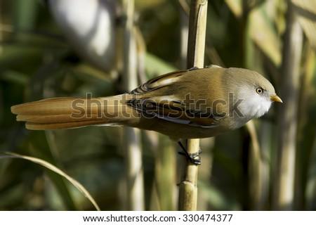Female Bearded Reedling (Panurus biarmicus) - stock photo