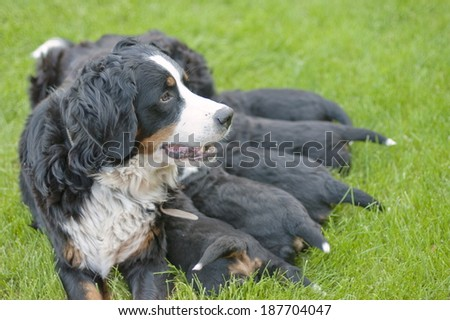 Female Bernese mountain dog feeds on her puppies. - stock photo