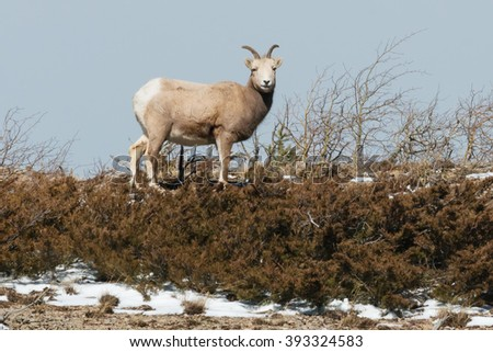 Female Bighorn Sheep looking down from on top of a ridge. - stock photo