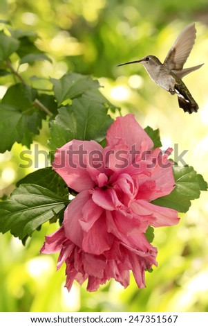 Female Black Chinned Hummingbird Hovering Above Pink Camellia - stock photo