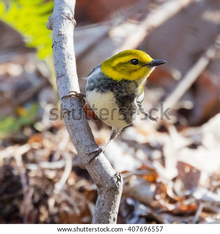 Female Black-throated Green Warbler (Setophaga virens) perched on a branch - stock photo