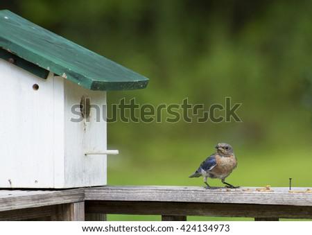 Female Bluebird perches near her nest. - stock photo
