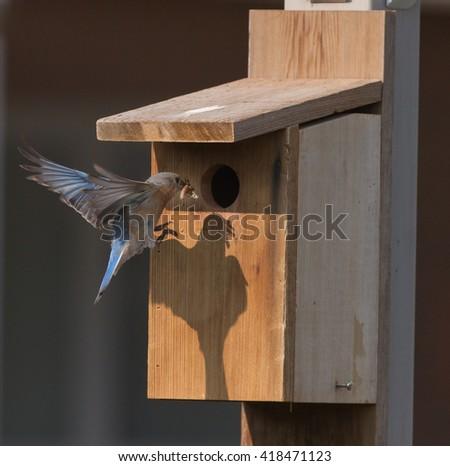 Female bluebird with food at nesting box - stock photo