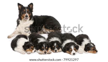 Female Border Collie, 3 years old, and Border Collie puppies, 6 weeks old, in front of white background - stock photo