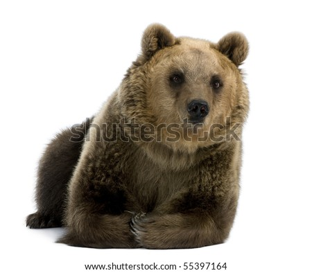 Female Brown Bear, 8 years old, lying down against white background - stock photo