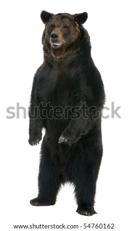 Female Brown Bear, 12 years old, standing in front of white background - stock photo