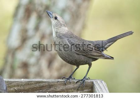 Female Brown Headed Cowbird  - stock photo