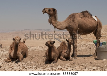 Female camel and her baby camels - stock photo