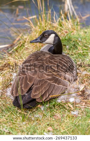 Female Canada Goose sat on her nest on the river bank.  Taken in vertical format. - stock photo