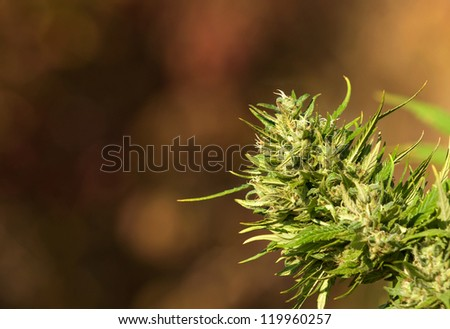 Female Cannabis Plant - stock photo