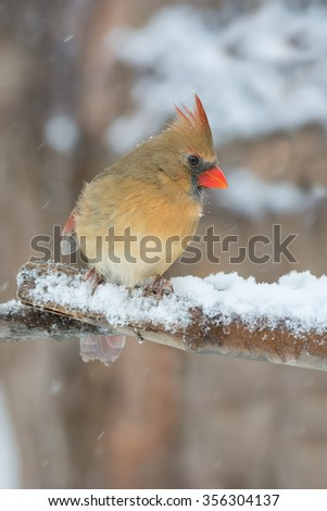 Female cardinal on a snowy day. - stock photo