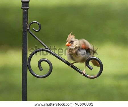 Female Cardinal on perch shaking off her feathers - stock photo