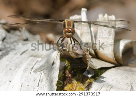 Female Chalk-fronted Corporal Dragonfly perched on a birch log. - stock photo