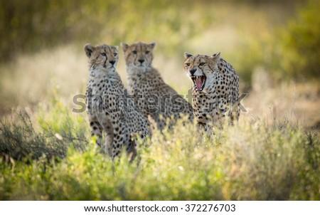 Female Cheetah and her two sub adult cubs, Ndutu, Serengeti, Tanzania - stock photo