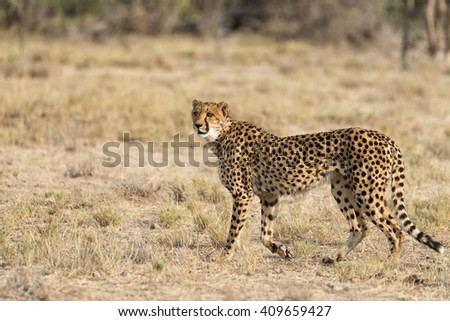 Female cheetah on the lookout in Etosha National Park, Namibia. Shallow depth of field with room for text. - stock photo