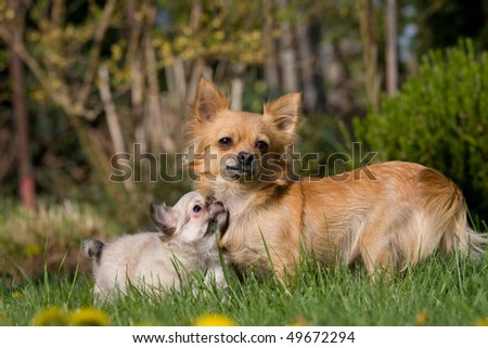 Female Chihuahua with nice puppy - stock photo