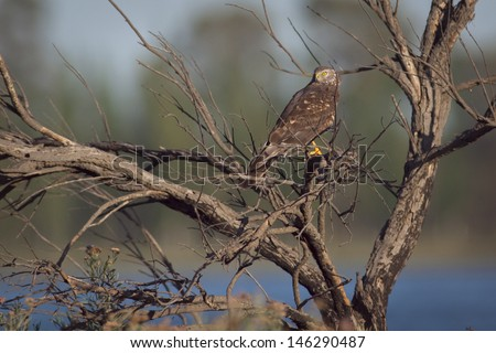 Female Cinereus Harrier (Circus cinereus) perched on a dead tree. Patagonia, Argentina, South America - stock photo