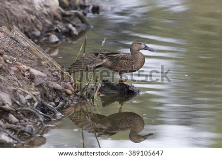 Female Cinnamon Teal with reflection doing wing stretch - stock photo