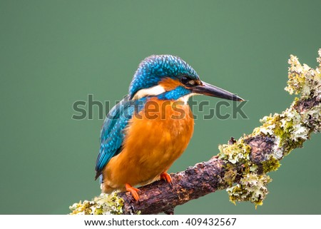 Female Common Kingfisher (Alcedo atthis) perched on a lichen covered branch hunting for stickleback fish - stock photo